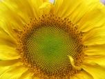 Flora del Sol